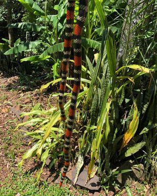 Moradores de Joaçaba encontram cinco cobras próximo a sua residência em menos de quinze dias