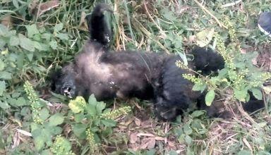 Aparecimento de um animal morto pode ser um alerta para a presença da doença.