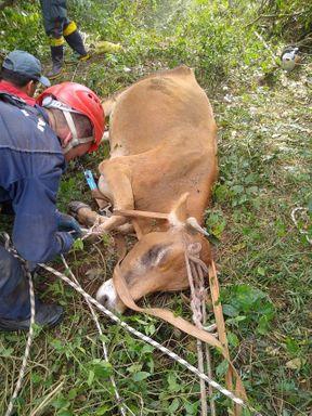 Vaca cai de barranco e fica pendurada pelos chifres a 50 metros de altura em SC