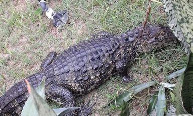 Conforme moradora, réptil foi levado para região de mata após captura (Glorinha Esteves / Arquivo Pessoal)
