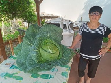 Mulher é pega de surpresa e colhe repolho gigante em Lacerdópolis